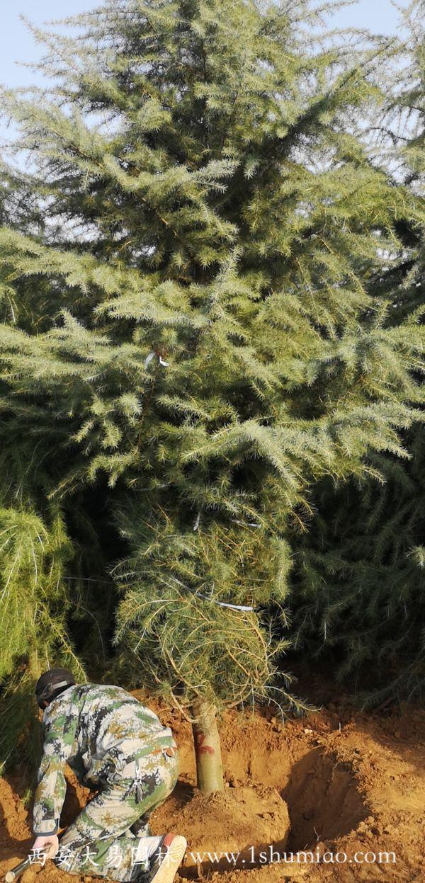 大易园林6米雪松