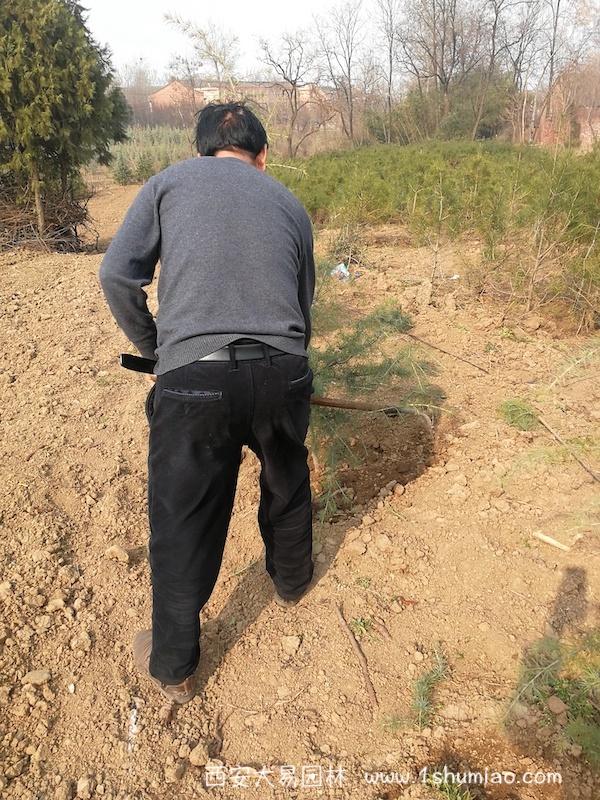 雪松灌溉栽培注意事项