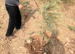 雪松种植栽培灌溉浇水的事项