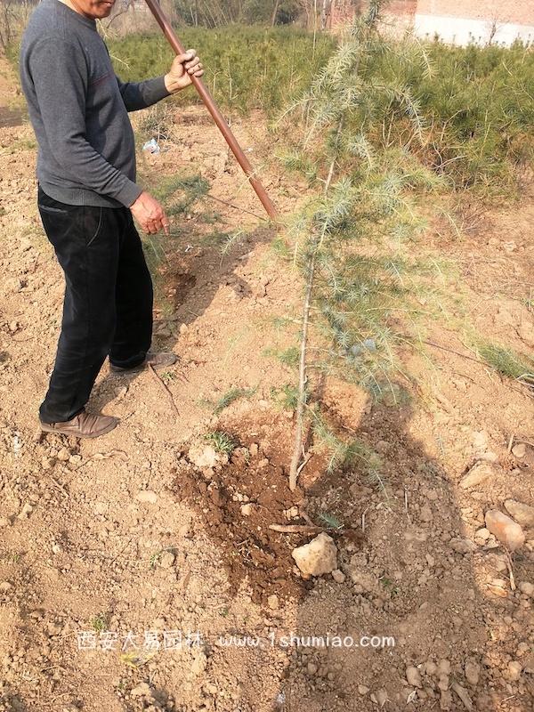 雪松树苗的种植浇水