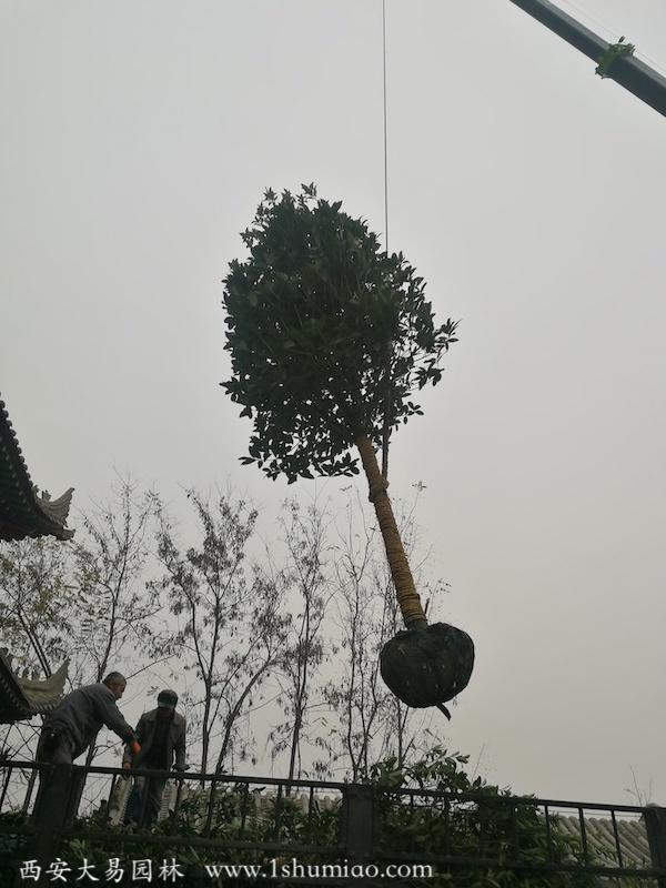 桂花树-大易园林园林绿化工程
