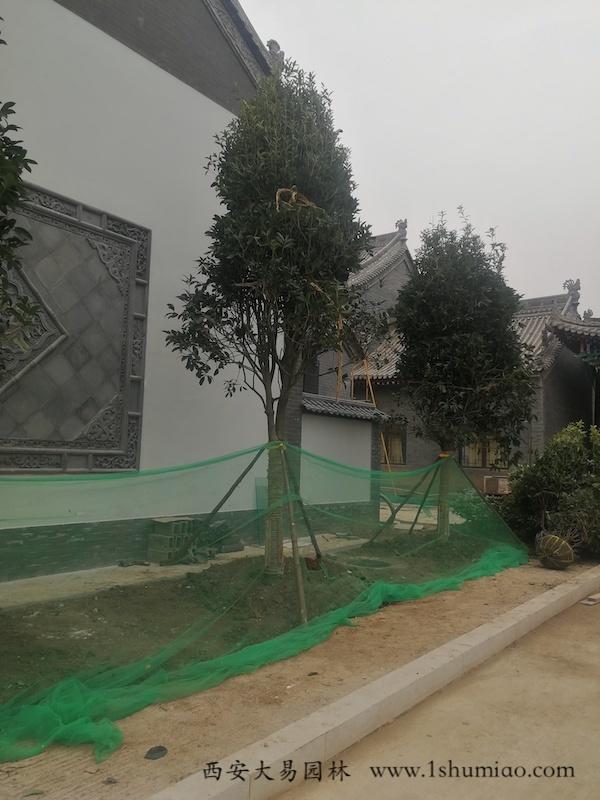 行道树种植-大易园林园林绿化工程