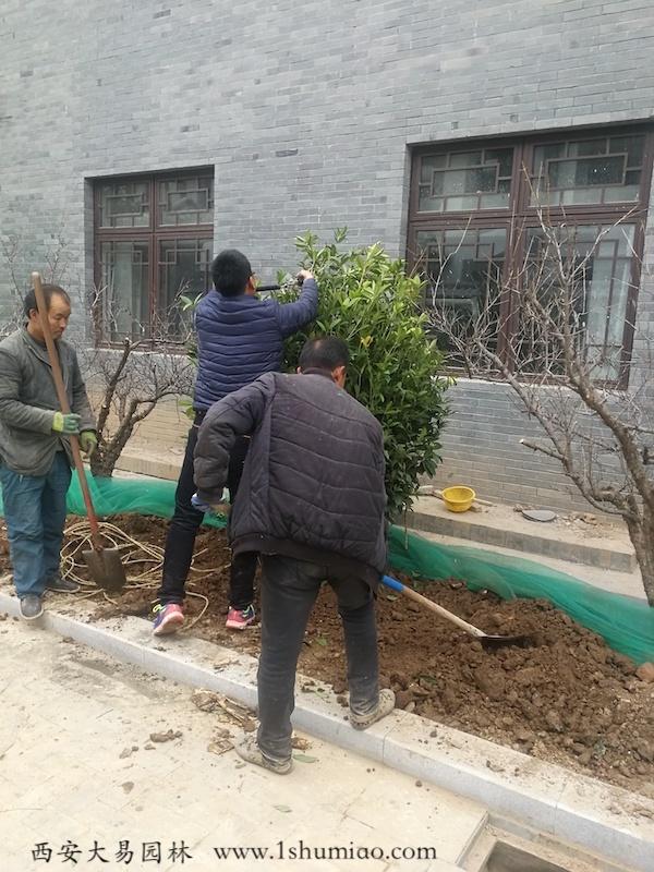 石楠球修剪-大易园林园林绿化工程