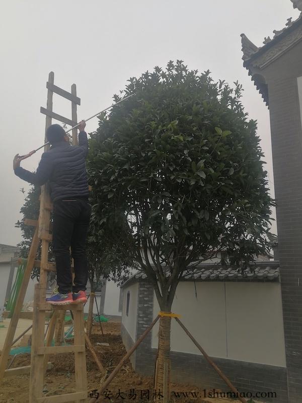 桂花树修剪-大易园林园林绿化工程