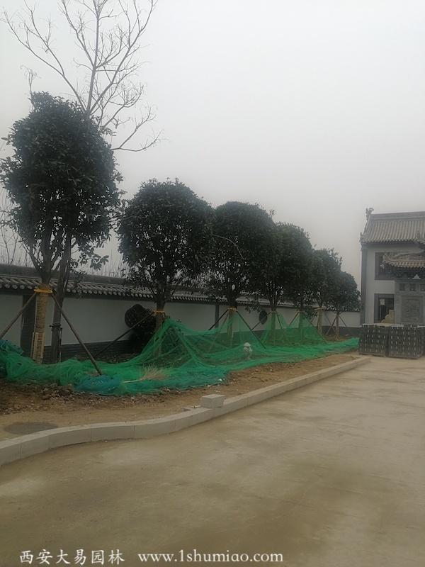 行道树栽种-大易园林园林绿化工程