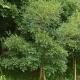 西北地区3种常见落叶乔木