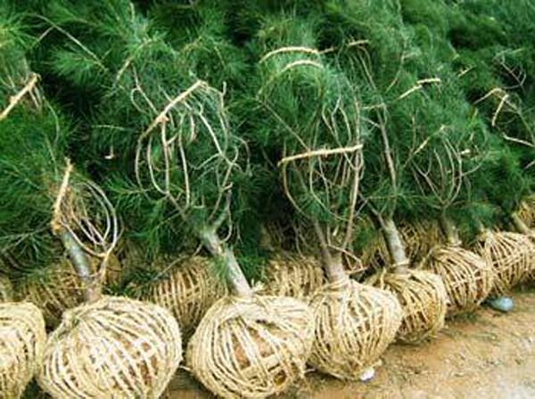 苗木的起运和栽植