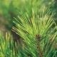 松树种植中的病虫害防治技术