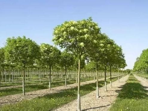 树木的树龄不同,修剪的要求也不同