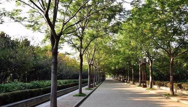 杨树柳树的种植量很大,不能大规模砍伐