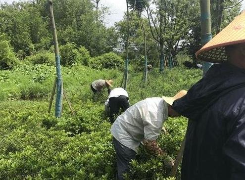 人工除草是最原始最简单最实用的除草方式