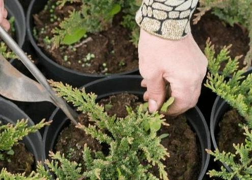 综合使用人工除草和化学除草两种方法
